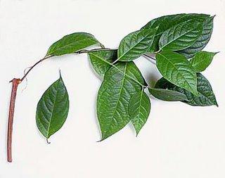 ayahuasca-4