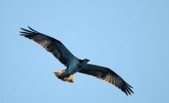 aigle bleu en vol